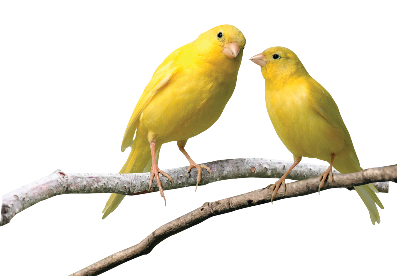 Image result for canary